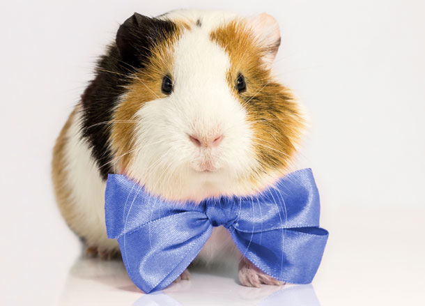 guinea pig in bow