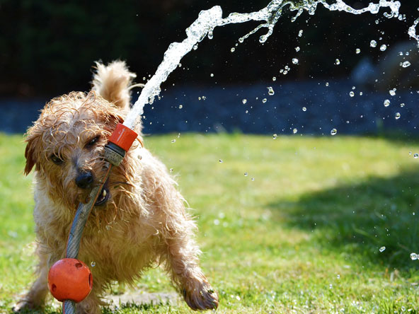dog with watering hose